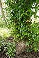 Mangrove Trumpet Tree 5134.jpg