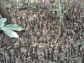 Mangrove plants.jpg