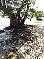 Mangrove tree - panoramio.jpg