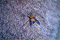 March Fly (Tabanidae) biting kangaroo arm (9918853665).jpg