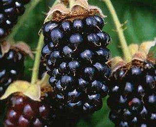 Marionberry Blackberry Cultivar
