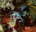 Martensia spp, Batemans Marine Park, near Pretty Beach NSW.jpg