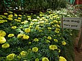 Marygold from Lalbagh flower show Aug 2013 8168.JPG