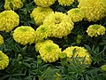 Marygold from Lalbagh flower show Aug 2013 8419.JPG