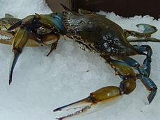 Maryland Blue Crab.jpg