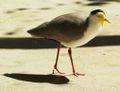 Maskenkiebitz - Masked Lapwing - Vanellus miles.jpg