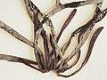 Mastocarpus stellatus 19880601b.jpg