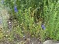 Matricaria chamomilla plant (21).jpg