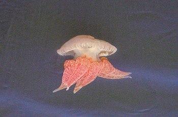 Medusa en la desembocadura del r%C3%ADo Guadiana -Ayamonte