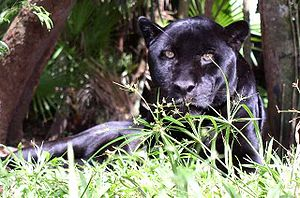 Black Puma in Belize
