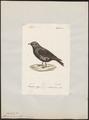 Melanocorypha tartarica - 1842-1848 - Print - Iconographia Zoologica - Special Collections University of Amsterdam - UBA01 IZ16100351.tif