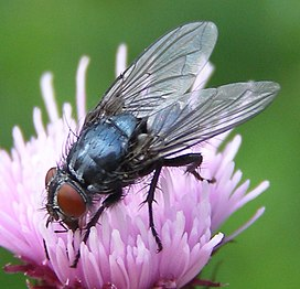 Melinda-sp-Calliphorid-fly-20100806a.jpg