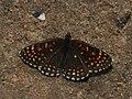 Melitaea diamina - False heath fritillary - Шашечница черноватая (26280483477).jpg