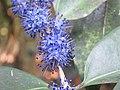 Memecylon umbellatum flowers at Peravoor (24).jpg