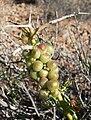 Menodora spinescens 1.jpg