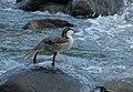 Merganetta armata (Pato de torrente) - Flickr - Alejandro Bayer (1).jpg