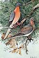 Mershon's The Passenger Pigeon (frontispiece, crop).jpg