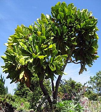 Henry Mangles Denham - Meryta denhamii, a New Caledonian tree named in Denham's honour