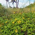 Miami Beach - Sand Dune Flora - Yellow flowers.jpg