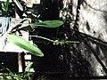 Micro orquídeas rara em flor na Selva Virgem - panoramio.jpg