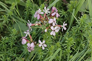 Soap - Page 2 320px-Microbotryum_saponariae_on_Common_Soapwort_-_Saponaria_officinalis_%2845500203152%29