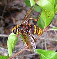 Milesia crabroniformis. Very large Hoverfly. - Flickr - gailhampshire (1).jpg