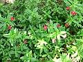 Mimulus grex valentine 2.jpg