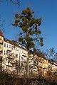 Mistelbaum an der Schöneberger Schleife.jpg