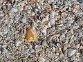 Mollusc shells on marine beach (Cayo Costa Island, Florida, USA) 18 (25904649060).jpg