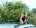 Momma and itty baby baboon (160559397).jpg