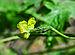 Momordica charantia 24042014 (1).jpg