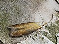 Monochroa cytisella (43837750372).jpg