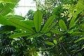 Monodora myristica-Jardin des Plantes de Paris (3).jpg