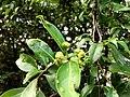 Morinda parvifolia 19451236.jpg