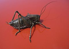 Mormon cricket (red background).jpg