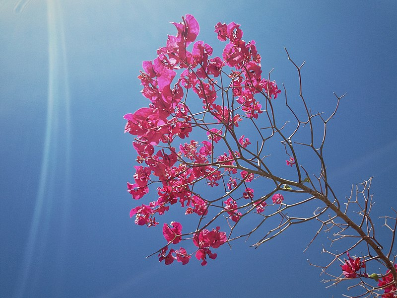 File:Moroccan Flower Rose.jpg