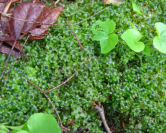 Gynoecium - Moss plants with gynoecia, clusters of archegonia at the apex of each shoot.