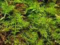 Moss on River Bank (15380468999).jpg