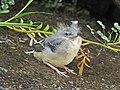 Motacilla cinerea (44601211821).jpg