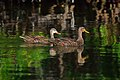 Mottled duck pair ding darling (16752333818).jpg
