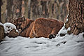 Mountain-cougar-snow-falling - Virginia - ForestWander.jpg