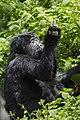 Mountain gorilla (Gorilla beringei beringei) 09.jpg