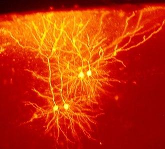 Mouse brain - Image: Mouse cingulate cortex neurons