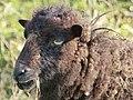 Moutons d'Ouessant à Comper (Concoret) 03.jpg