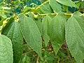 Muntingia calabura- Jamaica Cherry, Panama Cherry, Singapore Cherry. 2.jpg
