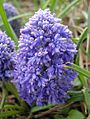Muscari armeniacum 'Blue Spike' 1.jpg
