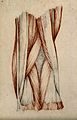 Muscles and tendons of the knee-joint. Red chalk and pencil Wellcome V0008267.jpg
