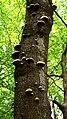 Mushrooms on a tree.jpg
