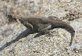 Mwanza Flat-headed Rock Agama, female, Serengeti.jpg