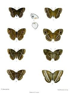 <i>Mycalesis subdita</i>